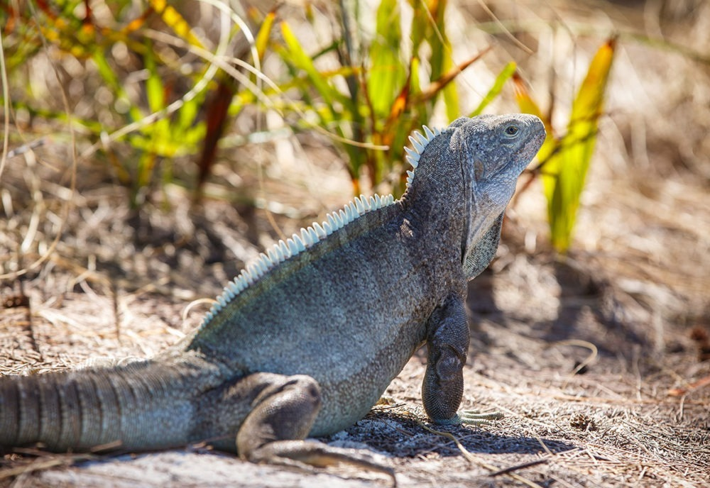 Iguana in Turks and Caicos