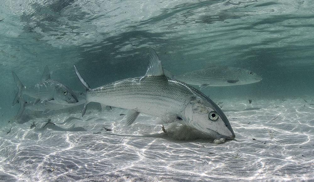 bonefish swimming underwater