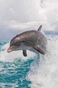 jojo dolphin jumping