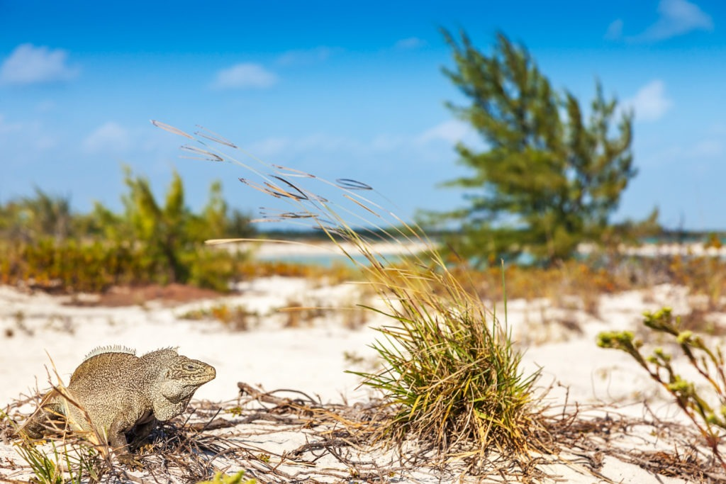 iguana on the beach in half moon bay, little water cay, turks and caicos