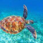 swimming sea turtle turks and caicos