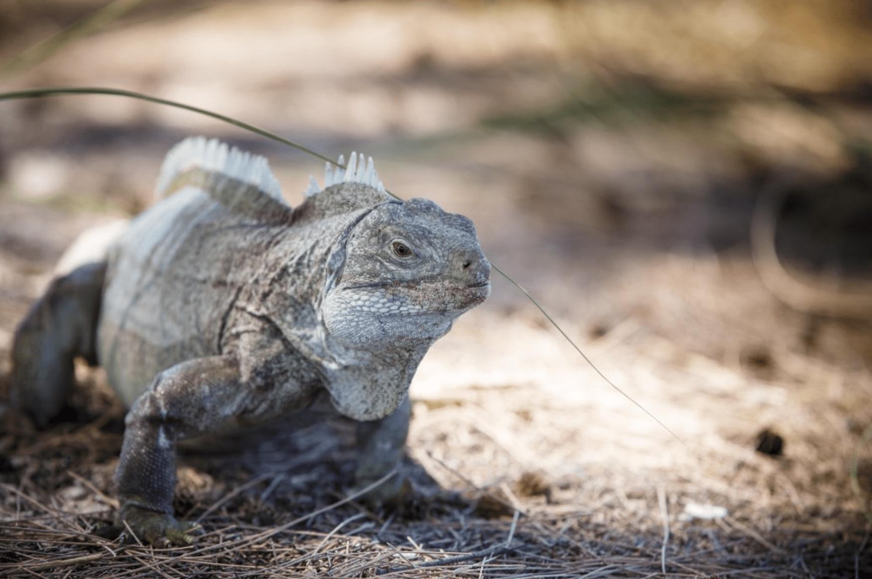 iguana in its natural habitat on iguana island turks and caicos